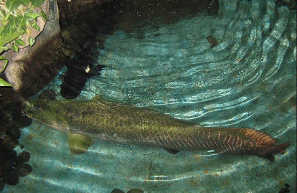 活化石巨骨舌魚——世界十大最兇猛淡水魚之一 - 每日頭條
