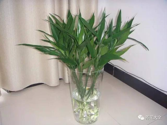 養了20年富貴竹。終於找到讓它葉子不發黃的辦法了~ - 每日頭條