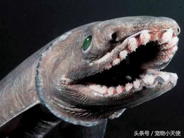 深海幽靈:皺鰓鯊竟是鯊魚的祖師爺!真正的活化石 - 每日頭條