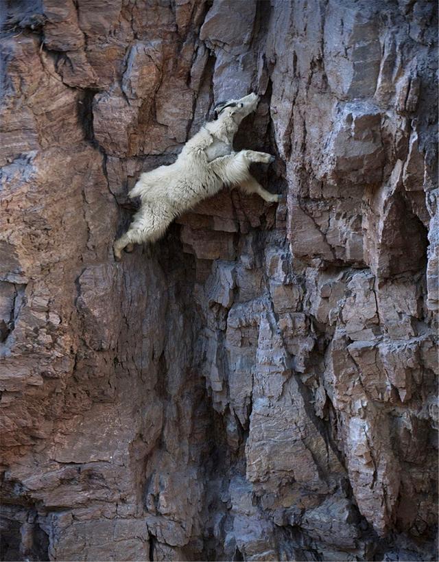 世界上最神奇的山羊:一生幾乎都生活在峭壁。真的不會掉下來嗎 - 每日頭條