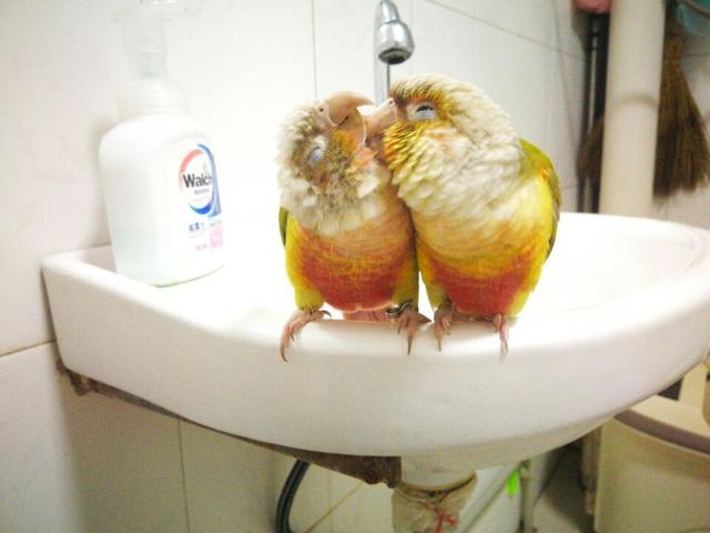 小太陽鸚鵡分類 - 每日頭條