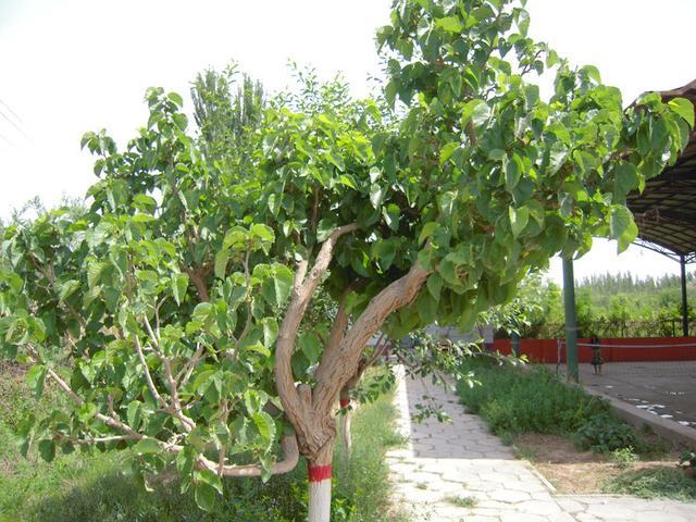 農村人愛種樹。但是這兩種樹一定不能亂種 - 每日頭條
