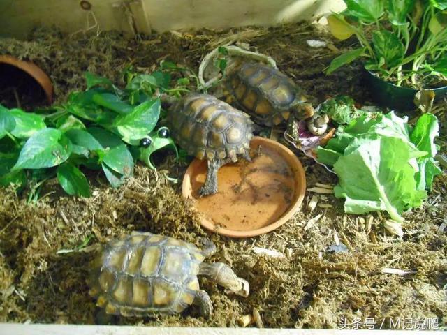凹甲陸龜,你可能不認識它也不知道它正處於瀕危邊緣 - 每日頭條