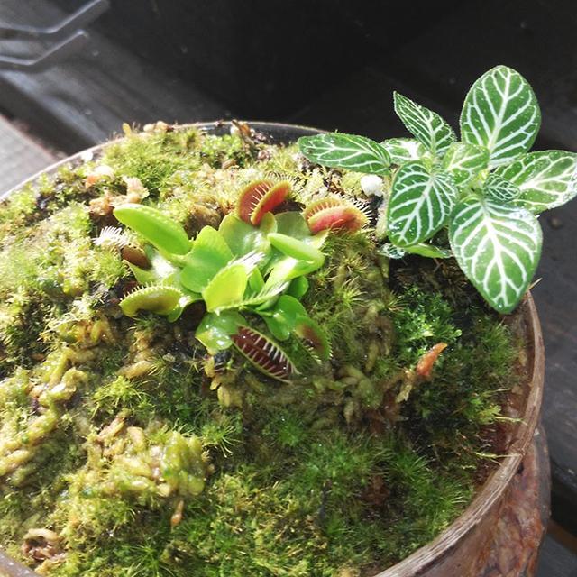 新奇植物食蟲草食人花小盆栽捕蠅草撲蠅蚊食肉植物好看好玩好養 - 每日頭條