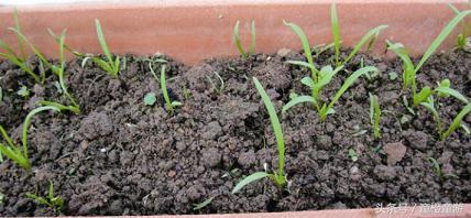 如何在家裡種菠菜 - 每日頭條