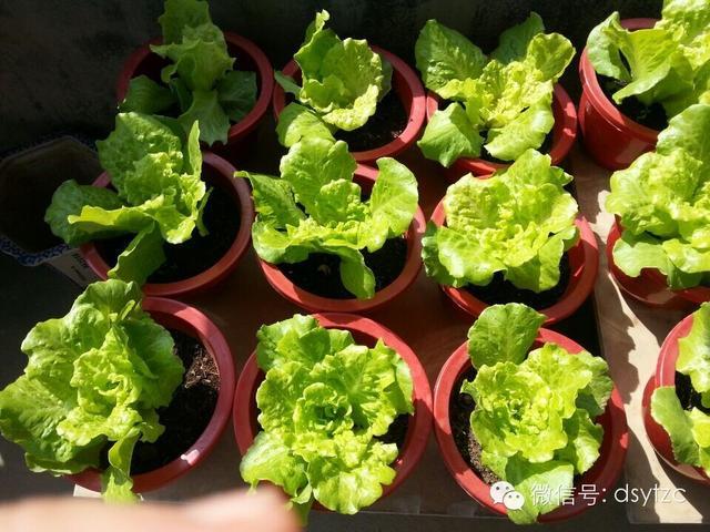 生菜的種植方法 - 每日頭條