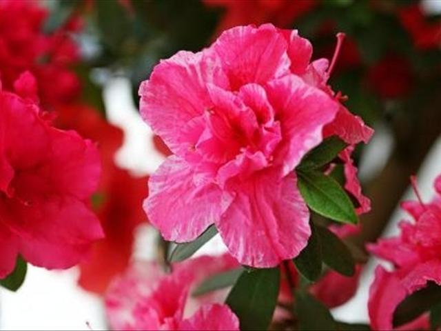 杜鵑花如何養殖?這樣養殖杜鵑花不掉葉。花苞不斷開花爆盆 - 每日頭條
