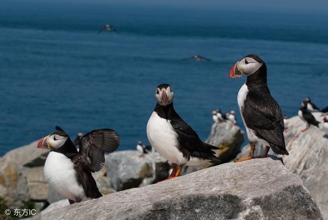 大西洋海雀 - 每日頭條