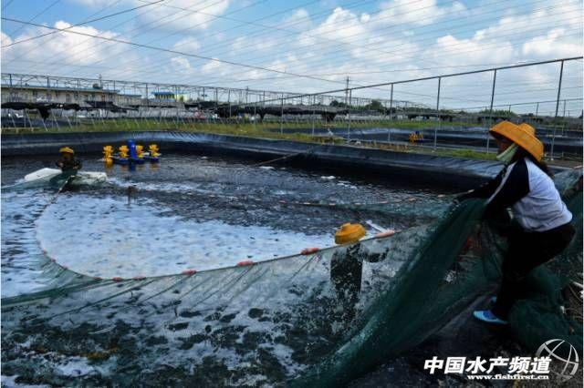 牛!這個循環水養殖場24口蝦塘100%成功。平均畝產4300斤 - 每日頭條