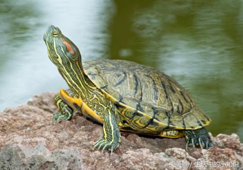小烏龜怎麼養經驗詳解 - 每日頭條