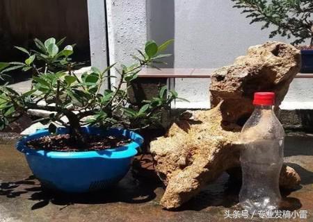 盆栽盆景——附石盆景的製作(附圖) - 每日頭條