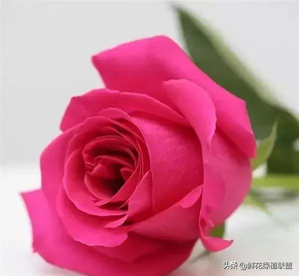 101種玫瑰品種科普。你都認識嗎? - 每日頭條
