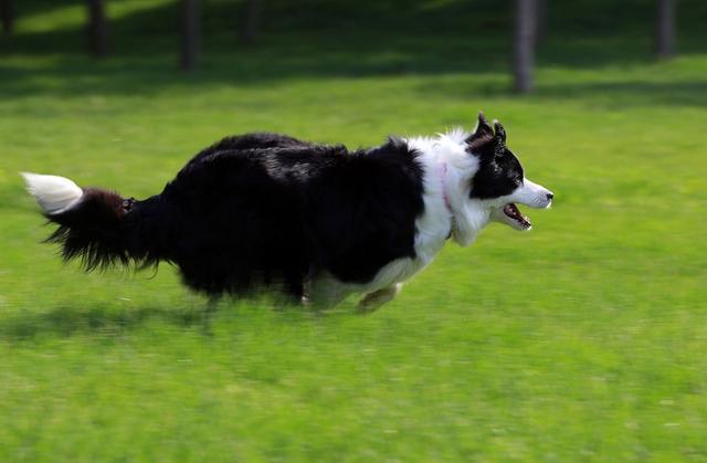 邊牧和金毛這兩種寵物狗。哪種忠誠度更高。這張圖告訴你 - 每日頭條