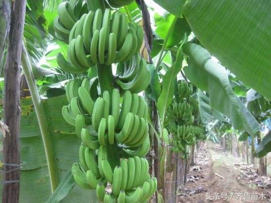 香蕉到底有沒有種子?沒有種子,香蕉是如何傳宗接代的呢? - 每日頭條
