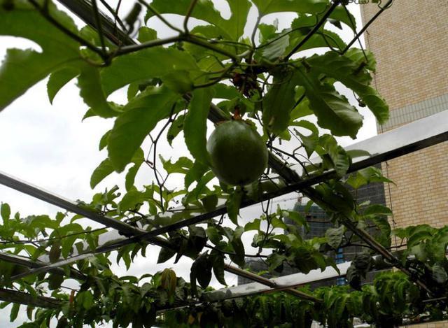 陽臺盆栽「百香果」實用方法,需要這樣做,才能長得大結得多! - 每日頭條