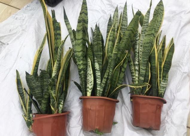 虎尾蘭養護4要點,把這幾點做好,虎尾蘭自然也就長得好 - 每日頭條