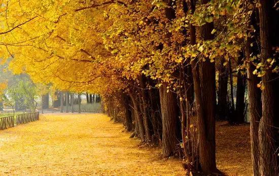 陝西這9處銀杏樹又美哭了! - 每日頭條