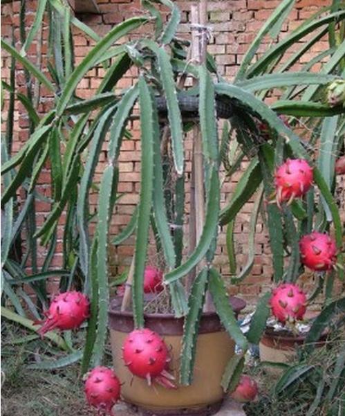 火龍果在家怎麼種?教你實用家庭火龍果盆栽方法 - 每日頭條