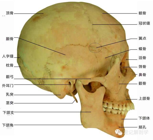 速記解剖歌訣及注釋(超級精華)——運動系統 - 每日頭條