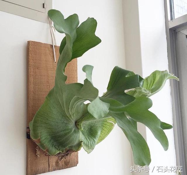 鹿角蕨,不知該擺那兒?今天手養,整面的鹿牆,它很適合布置在木板上,趴在牆上的神奇寶貝 - 每日頭條