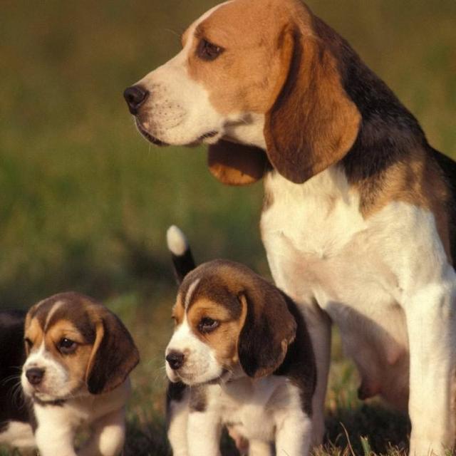 小型犬—比格Beagle - 每日頭條