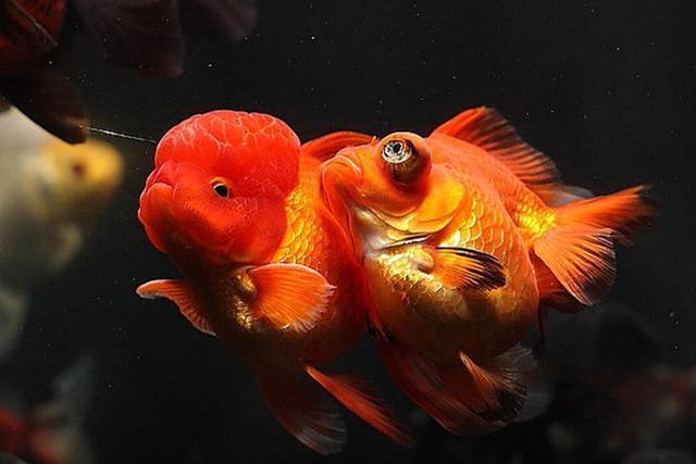 金魚品種大盤點!第二類:龍種魚! - 每日頭條