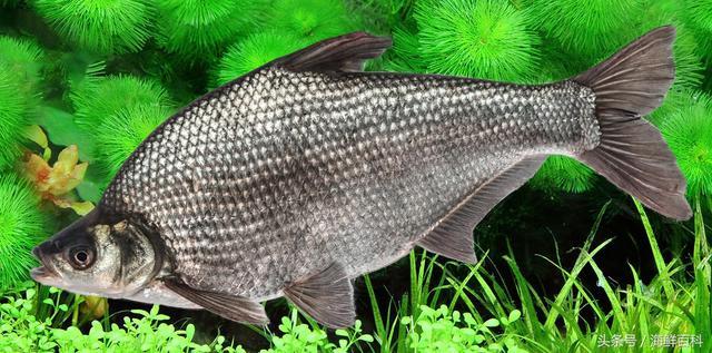 魚的哪些部位營養最高 魚的哪些部位不能吃 - 每日頭條