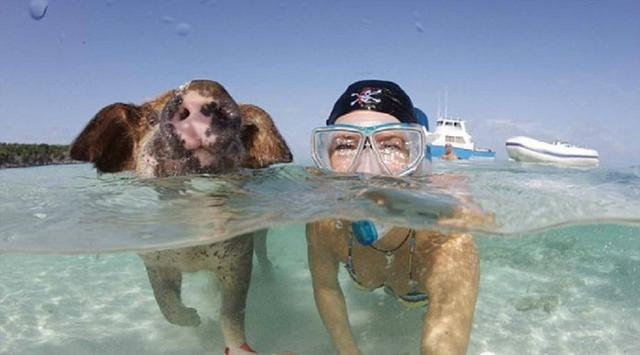 巴哈馬有一個豬島。上面有一群幸福的豬 - 每日頭條