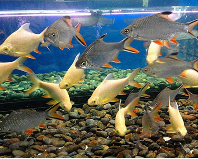 中型熱帶觀賞魚——泰國鯽 - 每日頭條