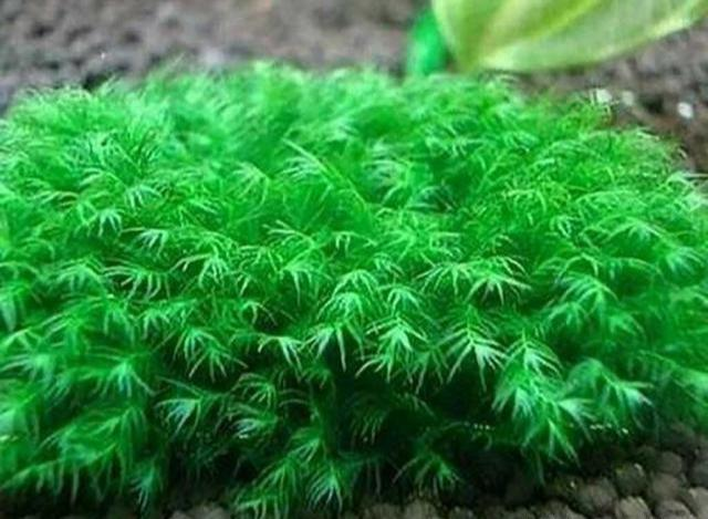 草缸中值得推薦的水草品種,好看又容易養殖,你喜歡哪一種? - 每日頭條