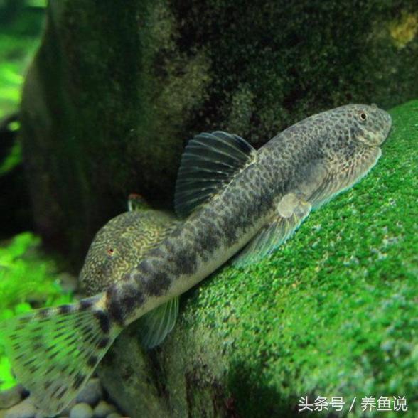 清道夫魚真的能清潔魚缸嗎?其實是觀賞魚缸里最大的禍害 - 每日頭條