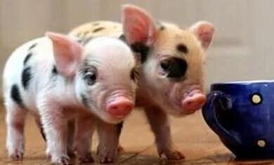 寵物豬和肉豬的辨別方法 - 每日頭條