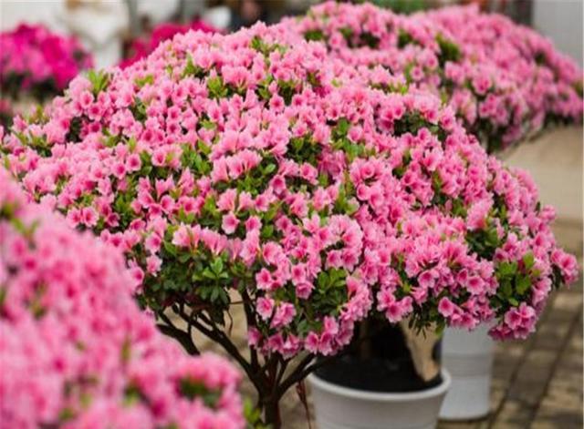 養殖杜鵑花的方法。掌握這幾點。輕鬆養殖杜鵑花 - 每日頭條