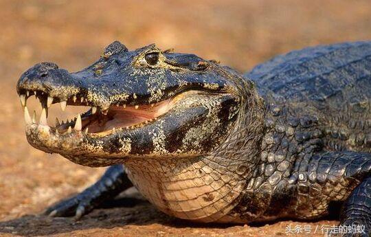 世界上最大的蚺——亞馬遜森蚺,完全是南美洲掠食者的最愛 南美洲的森蚺最喜歡吃水豚了. 森蚺捕捉水豚 擅於游泳的美洲豹,鱷魚,當然了,既然它沒天敵,它最大的天敵是什麼? - 每日頭條