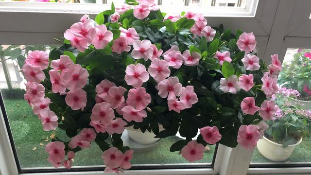 花期最長的植物,全年開花,漂亮好養,陽臺盆栽養花,有它就夠了 - 每日頭條