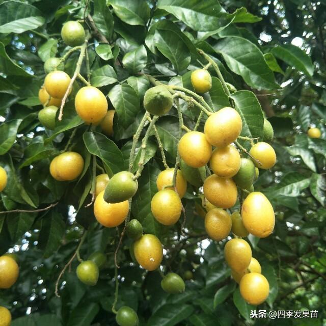 黃皮果樹如何種植 需要怎樣的種植條件 - 每日頭條