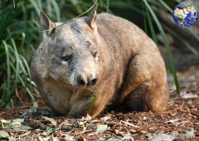 澳洲除了樹袋熊之外還有一種袋熊,真正詮釋了什麼叫土肥圓 - 每日頭條