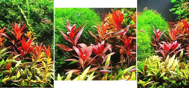 水草百科—後景草大紅葉 - 每日頭條