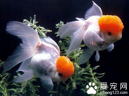 養金魚多久換一次水 應該儘量避免全缸換水 - 每日頭條