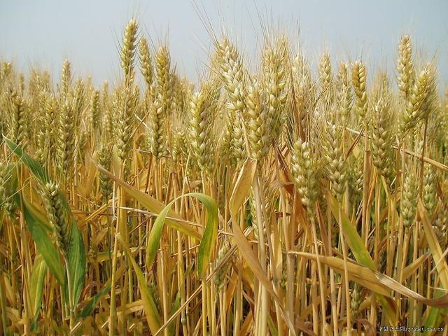 地道的農村五穀雜糧。你知道是哪幾種? - 每日頭條