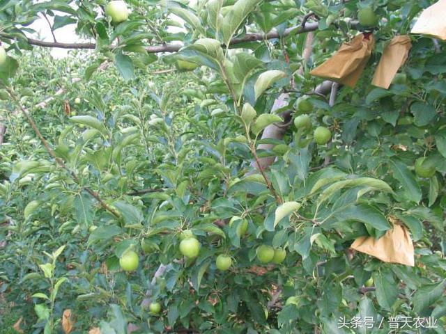 蘋果樹種植:蘋果樹種植的花果管理技術 - 每日頭條