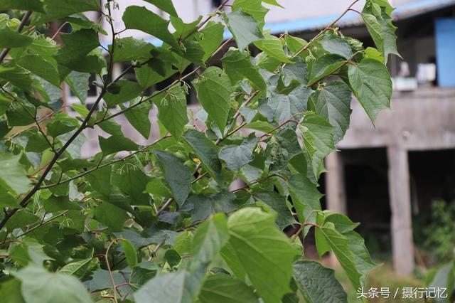 有毒的八角楓。也叫「白金條」。治風濕痹痛、四肢麻木等多病 - 每日頭條