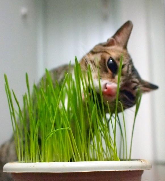 貓咪吃草的原因在這裡~麻麻粑粑快看看 - 每日頭條