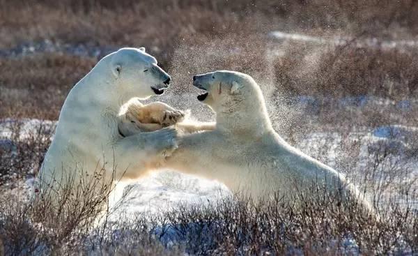熊滿為患的加拿大小鎮,設了個「北極熊監獄」 - 每日頭條