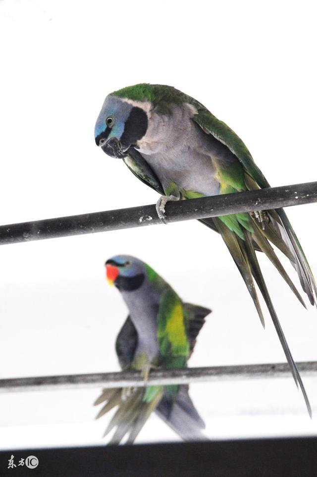 最適合新手飼養的幾種中大型鸚鵡 - 每日頭條