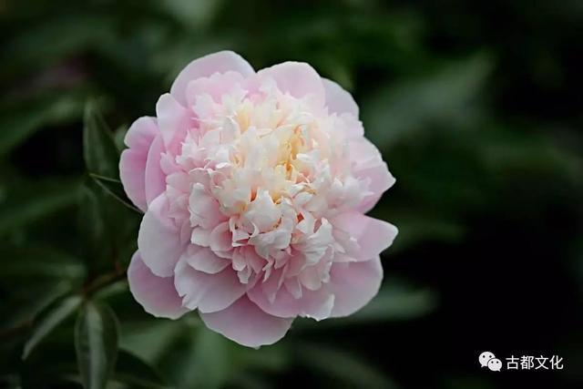 芍藥為什麼有那麼多美麗的別稱與寓意——芍藥的意象世界 - 每日頭條