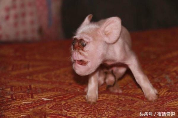 真人真事:母豬產下上古神獸。猴臉豬身喝奶粉! - 每日頭條