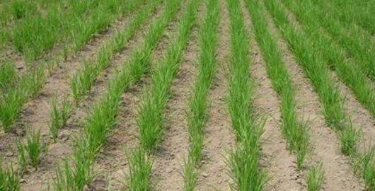 旱稻與水稻有什麼區別?旱稻產量與水稻產量哪個多? - 每日頭條