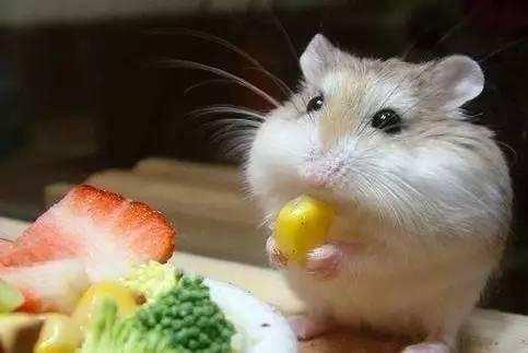 注意好倉鼠的習性,輕鬆養好倉鼠寶寶 - 每日頭條