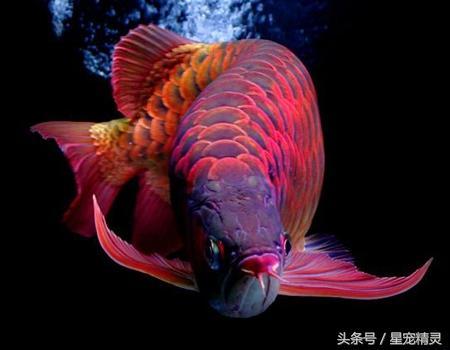 有「魚類活化石」之稱的龍魚選購要點 - 每日頭條